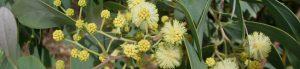 cropped-acacia_caerulescens.jpg